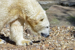 Polar bear on pebbles in an animal royalty free stock photography