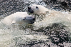 Polar bear. Picture of two polar bears playfully fighting in water Stock Photo