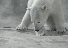 Polar Bear at Play Stock Photos
