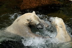 Polar bear-play fight. Two polar bears play fight in the water. They have joy in it stock photography