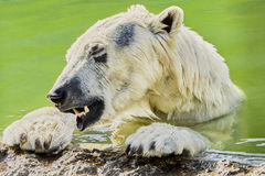 The polar bear is played with a plastic bottle Royalty Free Stock Image