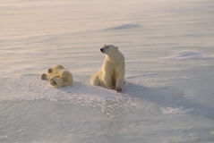Polar bear and playful cub Royalty Free Stock Images