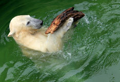 Polar Bear playing Royalty Free Stock Photos