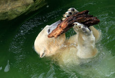 Polar Bear playing Royalty Free Stock Image