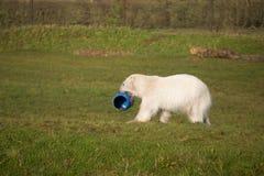 Polar Bear playing Stock Image