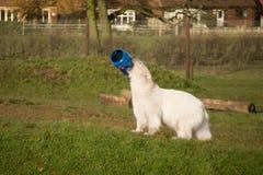 Polar Bear playing Royalty Free Stock Image
