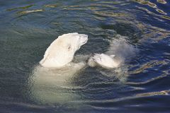 Polar bear playing with his cub on the water Royalty Free Stock Image