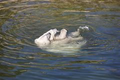 Polar bear playing with his cub on the water. Stock Photos