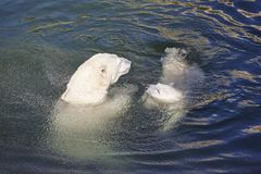 Polar bear playing with his cub on the water Stock Photography