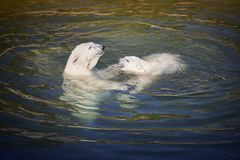 Polar bear playing with his cub on the water. Zoo Royalty Free Stock Photo