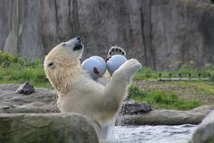 Playing polar bear Stock Photography