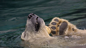 Polar bear playing Stock Images