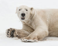 Polar bear playing in snow Stock Image