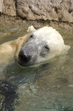 Polar Bear Playing in Water. A Polar Bear portrait while playing in the water Royalty Free Stock Images