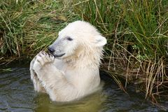 Polar bear playing in the water Stock Image