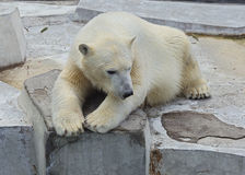 Polar bear playing in water Stock Photography