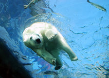 Polar Bear Plunge - Dive into Water. An underwater view of a polar bear diving into a pond of water Stock Photo