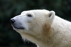 A Polar bear royalty free stock photography