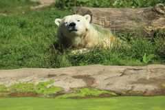 Polar bear. Lying in the grass royalty free stock photography