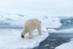 Polar bear on the pack ice north of Spitsbergen Island. Wild polar bear Ursus maritimus going on the pack ice north of Spitsbergen Island, Svalbard royalty free stock photo