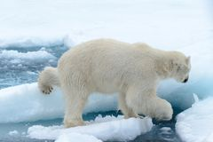 Polar bear on the pack ice north of Spitsbergen Island. Wild polar bear Ursus maritimus going on the pack ice north of Spitsbergen Island, Svalbard royalty free stock photos