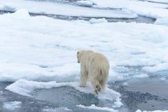 Polar bear on the pack ice north of Spitsbergen Island. Wild polar bear Ursus maritimus going on the pack ice north of Spitsbergen Island, Svalbard stock photography