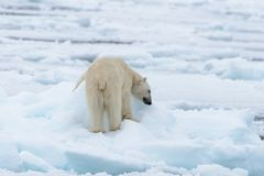 Polar bear on the pack ice north of Spitsbergen Island. Wild polar bear Ursus maritimus going on the pack ice north of Spitsbergen Island, Svalbard royalty free stock photo
