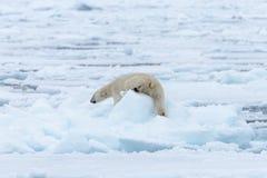 Polar bear on the pack ice north of Spitsbergen Island. Wild polar bear Ursus maritimus going on the pack ice north of Spitsbergen Island, Svalbard royalty free stock photos
