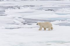 Polar bear on the pack ice north of Spitsbergen Island. Wild polar bear Ursus maritimus going on the pack ice north of Spitsbergen Island, Svalbard stock images