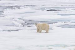 Polar bear on the pack ice north of Spitsbergen Island. Wild polar bear Ursus maritimus going on the pack ice north of Spitsbergen Island, Svalbard stock photo