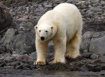 Polar bear. In Svalbard Norway royalty free stock photo