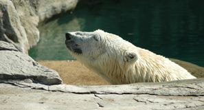 Polar bear in pool Royalty Free Stock Images
