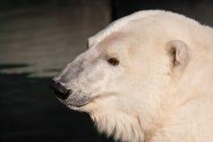 Polar Bear Portrait. Polar bear in the San Francisco Zoo Stock Photo