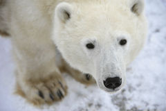 Polar bear portrait. royalty free stock photography