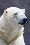 Polar bear portrait. Close up Royalty Free Stock Images