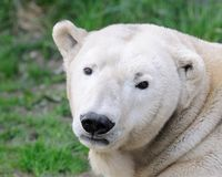 Polar bear portrait Royalty Free Stock Photos