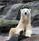 Polar Bear Portrait Stock Photos