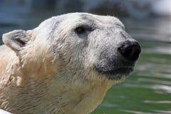 Polar Bear Portrait. Portrait of a Polar Bear Stock Photo
