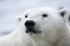 Polar bear. Portrait Stock Image