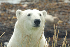 Polar Bear Portrait frontal. Closeup portrait of a wary Canadian Polar Bear in the Arctic tundra of the Hudson Bay near Churchill, Manitoba, in summer stock photos