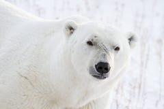 Polar bear portrait and scars Royalty Free Stock Image