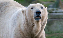Polar Bear portrait. A polar bear showing somewhat of a smile Royalty Free Stock Images
