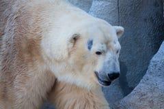 Polar bear portrait in the zoo Stock Photos