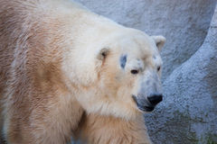 Polar bear portrait in the zoo Royalty Free Stock Photography
