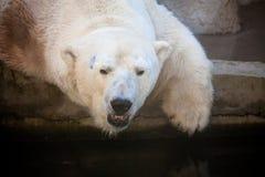 Polar bear portrait in the zoo Stock Photography