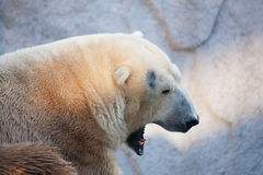 Polar bear portrait in the zoo Stock Photo
