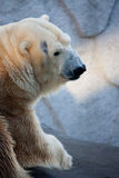 Polar bear portrait in the zoo Stock Image