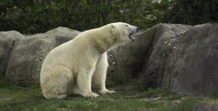 Polar Bear portret white close up. stock photography
