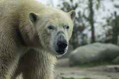 Polar Bear portret white close up. royalty free stock images