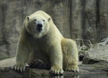 Polar Bear portret white close up. stock image